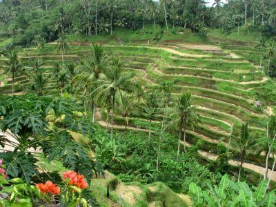 مزارع برنج عبود